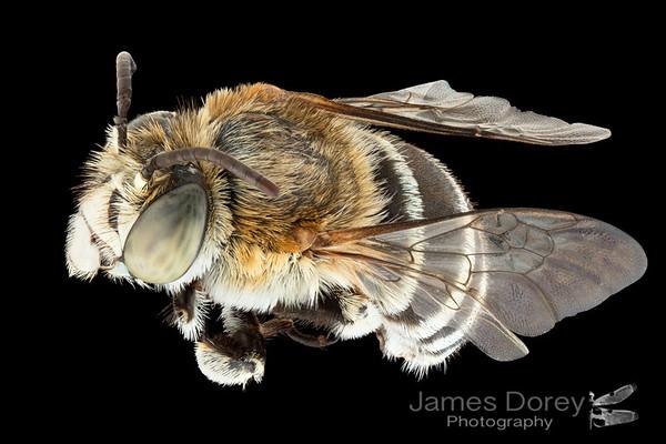 Feral Fijian bees