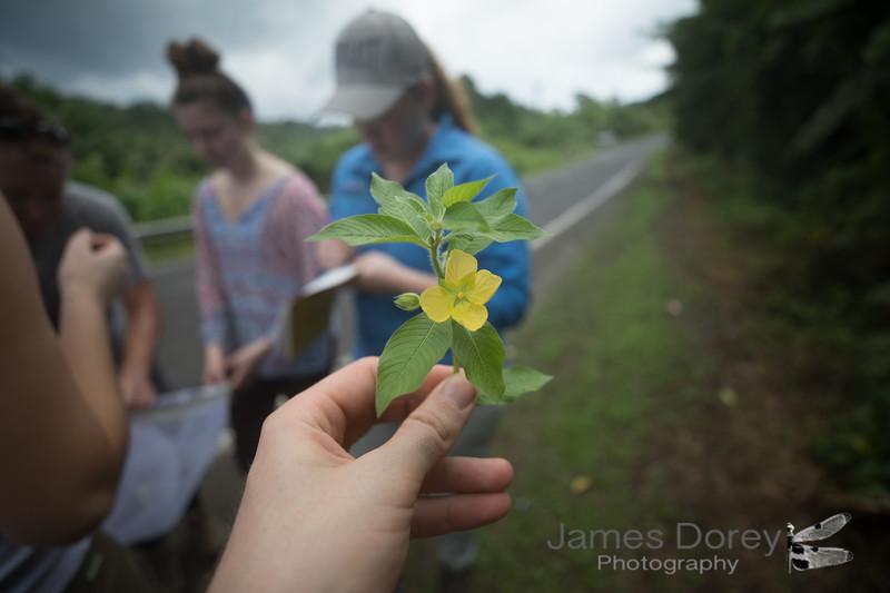 Evening primrose - Ludwigia octovalvus