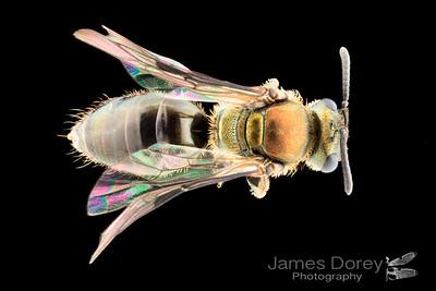 Clade M (Tomanivi) Female
