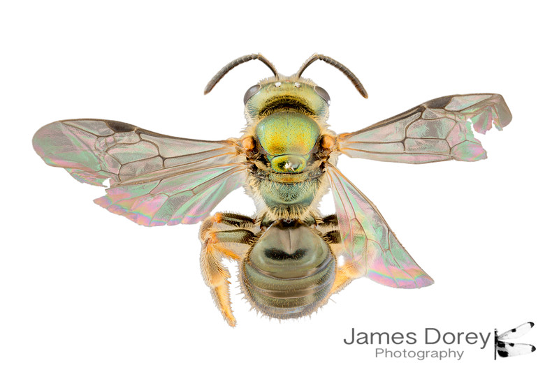 Homalictus fijiensis (female)
