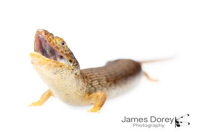 Pygmy blue tongue lizard (Tiliqua adelaidensis)