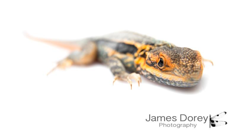 tawny dragon (Ctenophorus decresii)