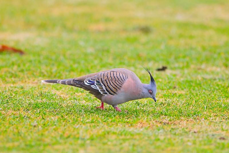 Barmera birds at the footy