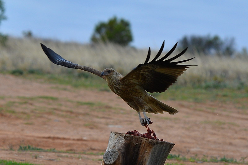 Hungry Hawk