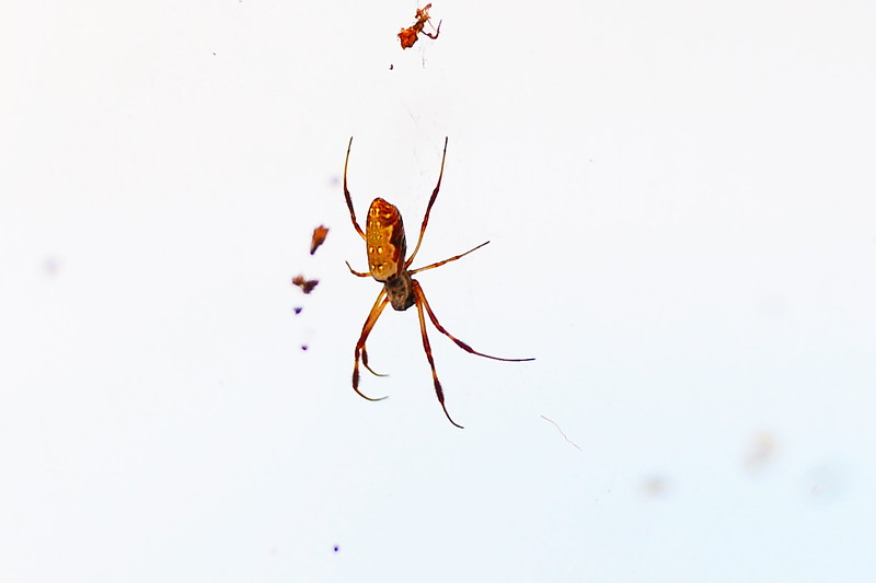 Mildura Speedway spiders