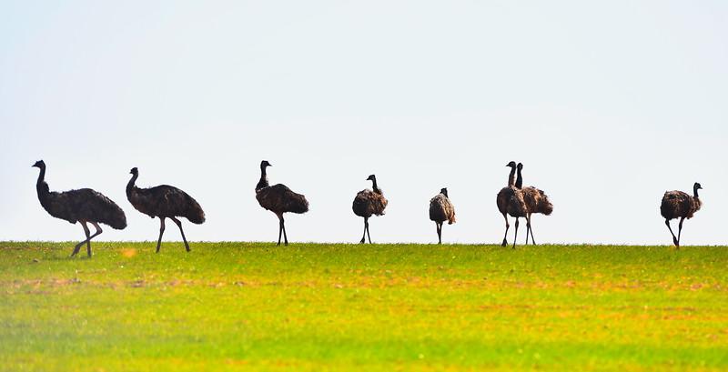Roaming emus