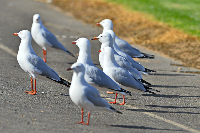 Seagulls at the footy