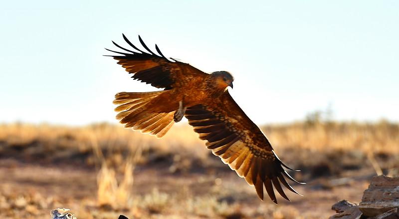 Whistling Kite fly past