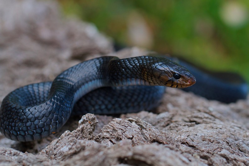 Category D04 Snakes