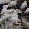 Category A04 Wading Birds I: Herons, Bitterns & Egrets