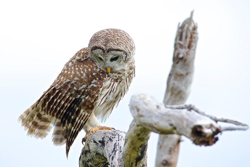 Category A03 Owls