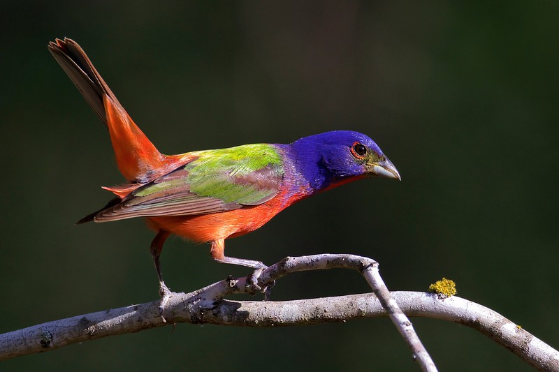Category A21 Painted Buntings