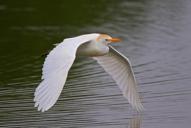 Category A04 Wading Birds I: Herons, Bitterns & Egrets