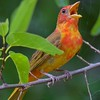 Category A10 Orioles, Tanagers & Thrushes - Meadowlarks, robins, bluebirds