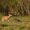 Category E08 Landscape Deer