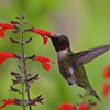 Category A 16 Hummingbirds