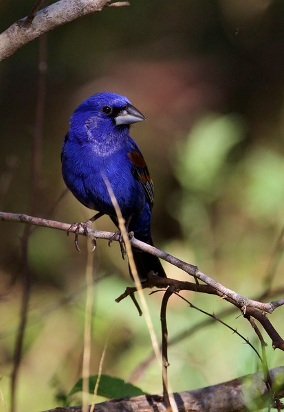 Category A22 Other Buntings & Grosbeaks
