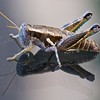 Category C07 All other insects: flies, grasshoppers, walkingsticks, mantids, cicadas, crickets, katydids, stink bugs, aphids, etc.