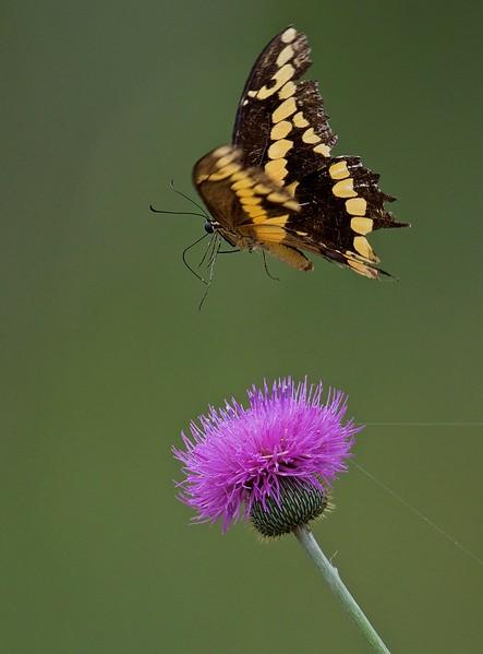Category C01 Butterflies & Moths