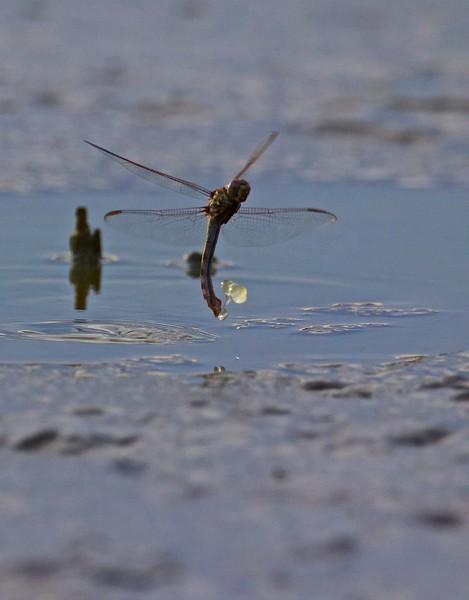 Category C05 Dragonflies & Damselflies