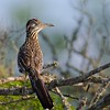Category A14 Cuckoos & Woodpeckers: Roadrunners, Anis
