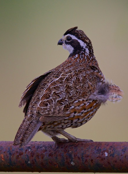 Category A18 Quail and prairie chickens