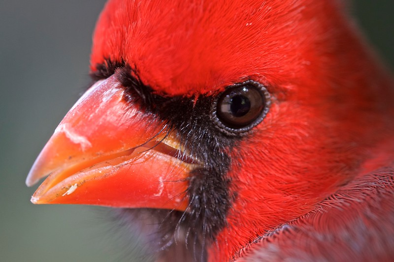 Category A23 Cardinals & waxwings