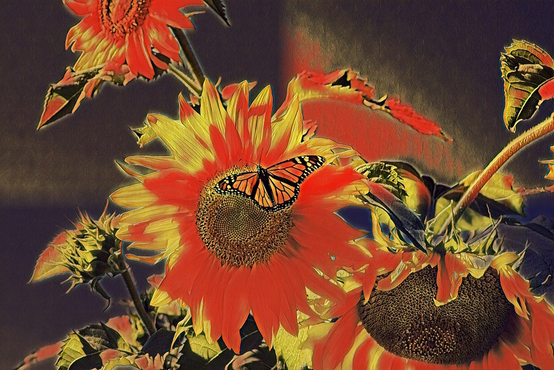 Monarch Red Sunflower