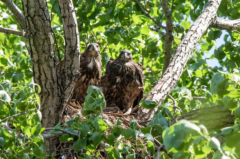 Eagle Fledgling, Eaglet #2