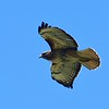 38 Red-tailed Hawk-Buteo jamaicensis