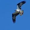 33 Osprey-Pandion haliaetus-Fischadler