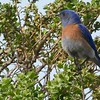 83 Western Bluebird-Sialia mexicana