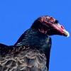 31Turkey Vulture-Cathartes aura