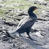 24 Double-crested Cormorant-Phalocrocorax auritus