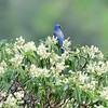 69 California Srub-Jay-Aphelocoma californica