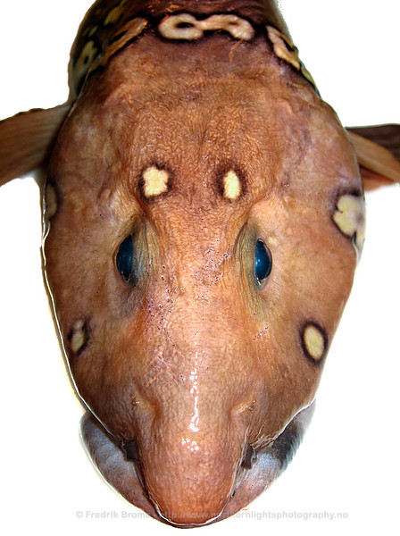 Arctic Eelpout - Nettålebrosme - Lycodes reticulatus