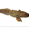 Arctic Eelpout, Norway