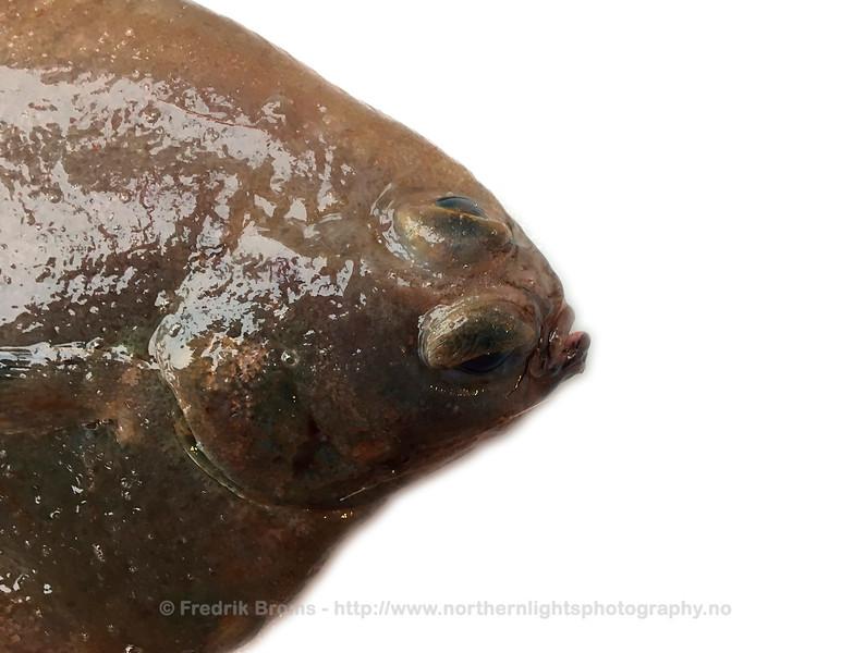 Witch Flounder - Smørflyndre - Glyptocephalus cynoglossus
