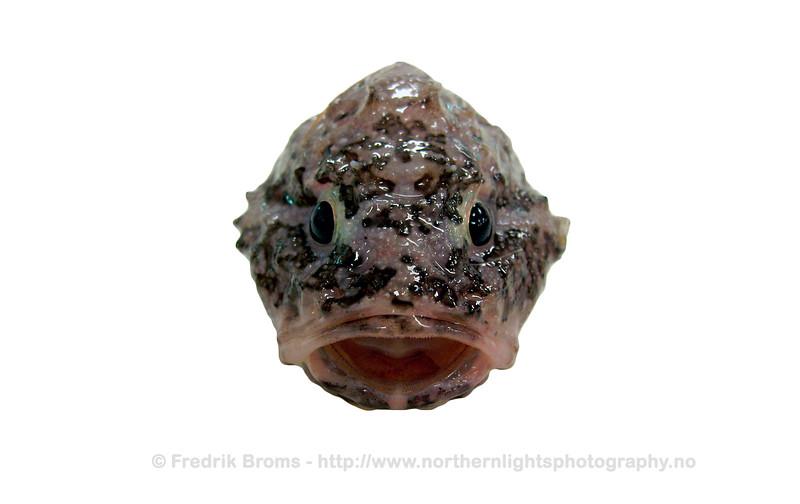 Polar Sculpin - Paddeulke - Cottunculus microps