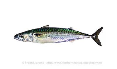 Atlantic Mackerel - Makrell - Scomber scombrus