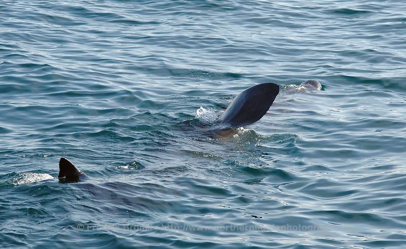 Basking Shark - Brugde - Cetorhinus maximus