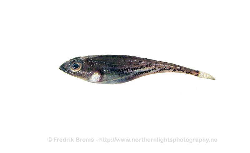 Bigeye Sculpin - Grønlandsknurrulke - Triglops nybelini