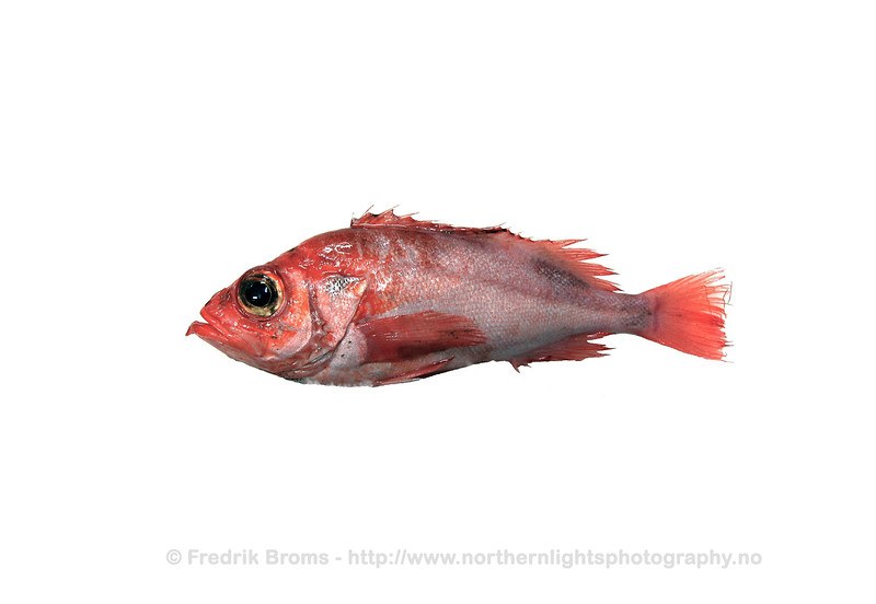 Deepwater Redfish - Snabeluer - Sebastes mentella