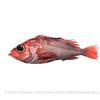 Deepwater Redfish, Norway