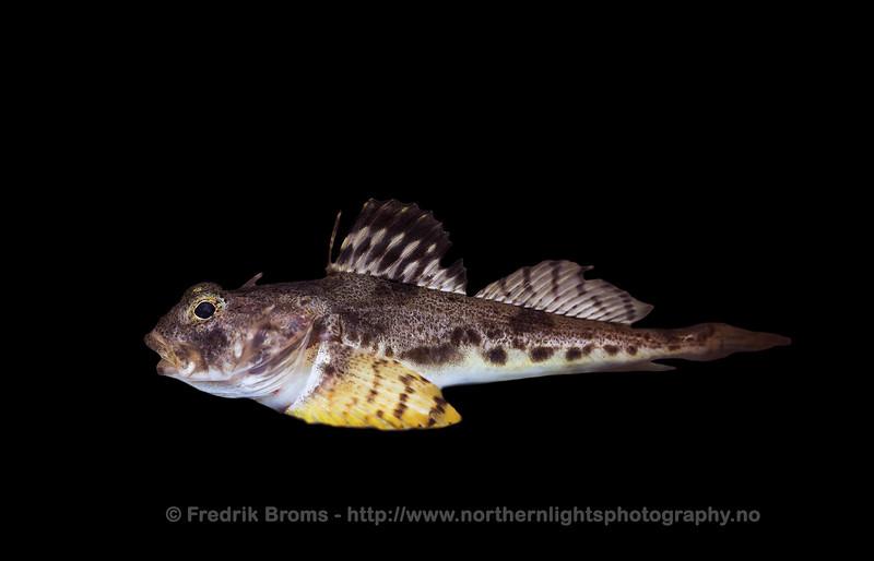 Arctic Staghorn Sculpin - Glattulke - Gymnocanthus tricuspis