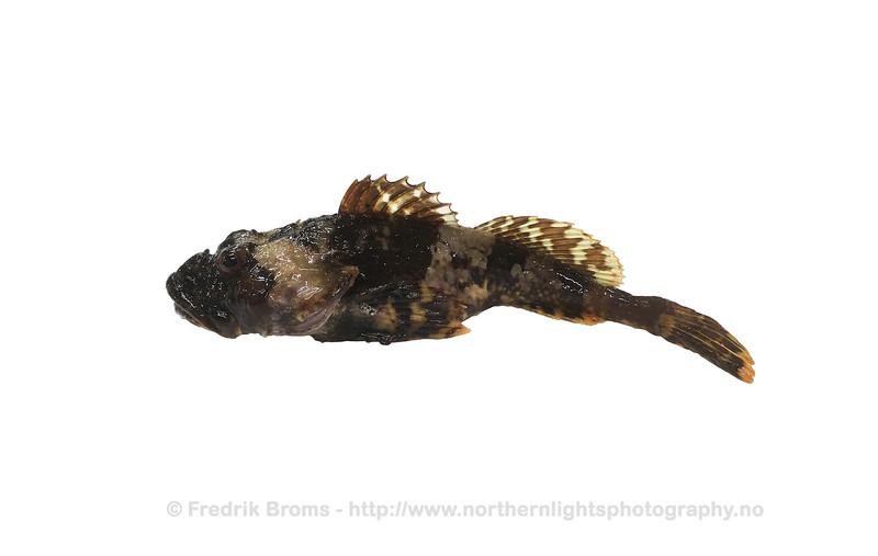 Shorthorn sculpin - Vanlig ulke - Myoxocephalus scorpius