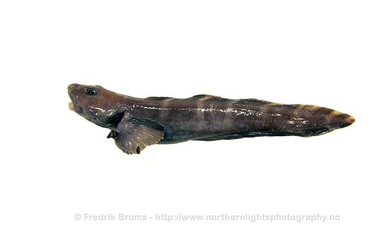 Doubleline Eelpout - Båndålebrosme - Lycodes eudipleurostictus