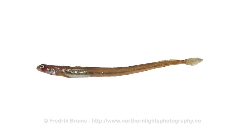 Snake Blenny - Langhalet langebarn -Lumpenus lampretaeformis
