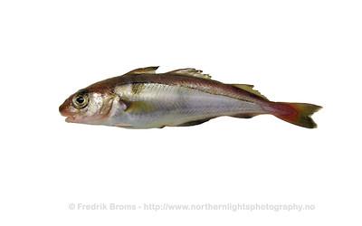 Haddock - Hyse - Melanogrammus aeglefinus