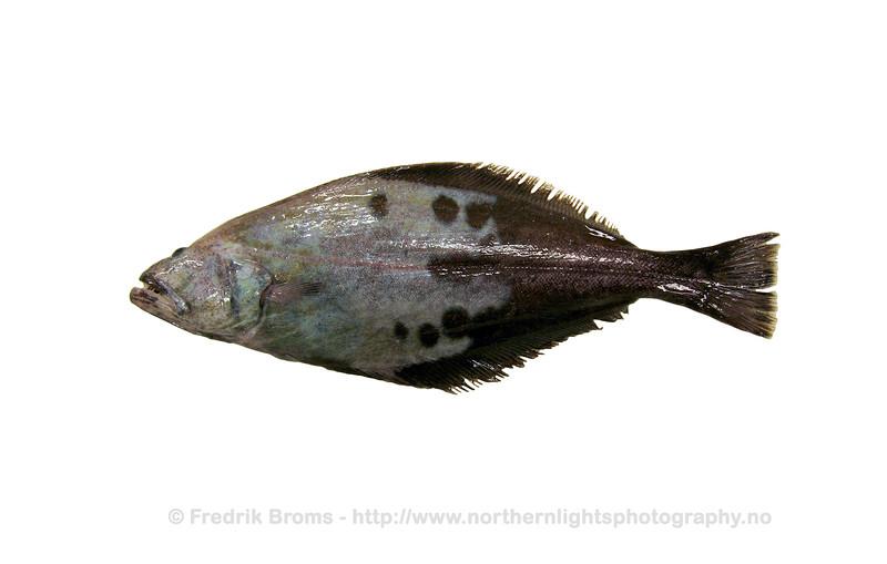 Greenland halibut - Blåkveite - Reinhardtius hippoglossoides